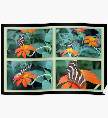 Zebra Longwing Butterfly (Heliconius charithonia) Poster