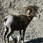 Big Horn Ram by Magnum1975