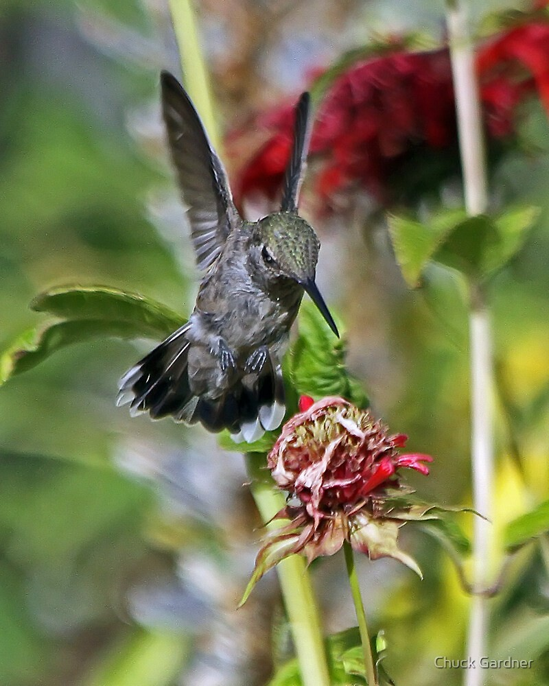 Someone Been Eating My Bee Balm Flowers  by Chuck Gardner