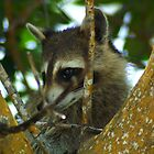Mr Racoon by Steve Unwin