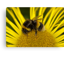 Clean bee Canvas Print
