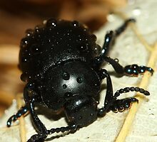 Bloody nose beetle in the rain. by JanSmithPics