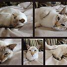 A Friends Beautiful Cat Lynx (Queen) by AnnDixon