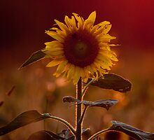 Sunflower taking sunpath by ilkka