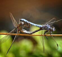 Mating Dragonflies by seethingsclear