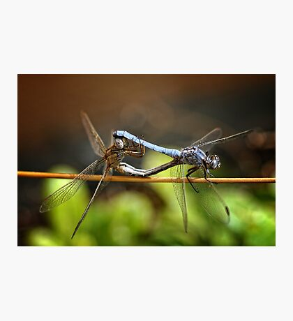 Mating Dragonflies Photographic Print