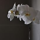 Orchid by petejsmith