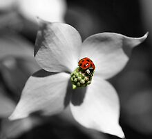 Ladybug On Dogwood Flower In Black And White Partial Color by SmilinEyes