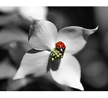 Ladybug On Dogwood Flower In Black And White Partial Color Photographic Print