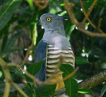 Pacific Baza by Teale Britstra