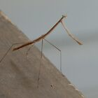 Phasmatodea (Walking Stick) by zpawpaw