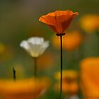 Orange Poppy by Stephen Hawkins