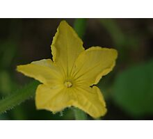 cucumber flower Photographic Print