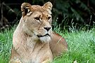 LIONESS by Debbie Ashe