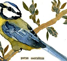 Parus caeruleus (Blue Tit) by Carol Kroll