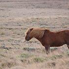 Icelandic horse by pljvv
