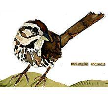 Melospiza melodia Photographic Print