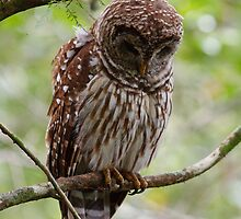 Barred Owl by Joe Elliott