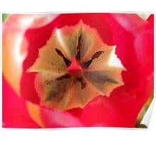 Red Tulip, Stunning Close Up Poster