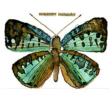 Menander menander (Blue Tharops Butterfly) Photographic Print