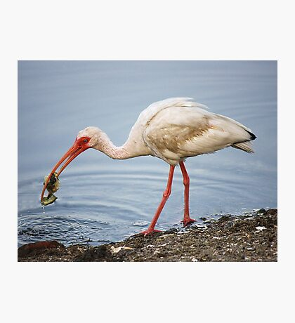Ibis Eating a Crab Photographic Print