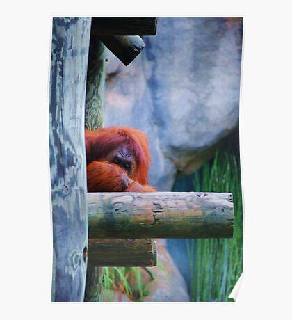 Resting Orangutan- Fort Worth Zoo Poster