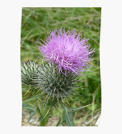 A Scottish Thistle. Poster