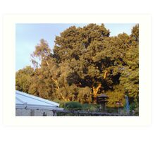 Golden Oak with the sun going down in the next garden ove Art Print