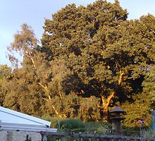 Golden Oak with the sun going down in the next garden ove by mike421