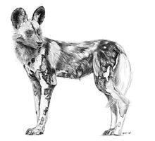 African Wild Dog Sketch by Stuart Hogton