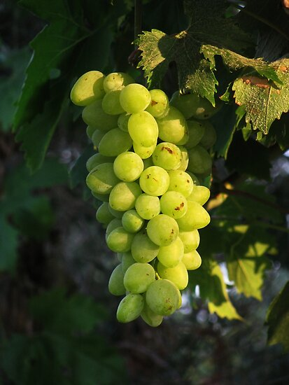 Grape on  8 August by rasim1