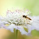 Hoverly on Scabious by Mandy Disher