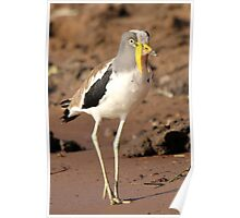 White-crowned Plover Poster