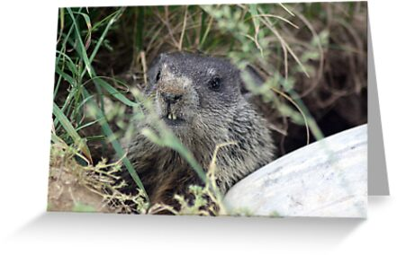 The Baby (Groundhog) by rasnidreamer