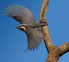 RED - BREASTED NUTHATCH by Sandy Stewart