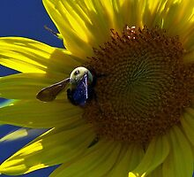 Backlit Sunflower by Susan Blevins