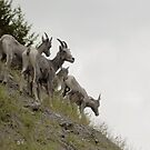 Rocky Mountain Sheep by Zolton
