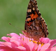Resting on Zinnia by Jennifer Ferry