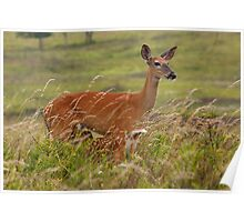 Whitetail Doe with Fawn Nursing Poster