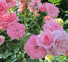 Pink Collective Climbing Roses by MarianBendeth