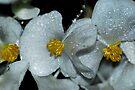 White Begonias by Tori Snow