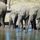 Petes pond elephants drinking in rythm by jozi1