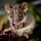 """Gumnut"" Ringtail Possum by Amber  Williams"