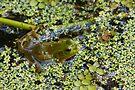 Swamp Bull Frog by Joe Elliott