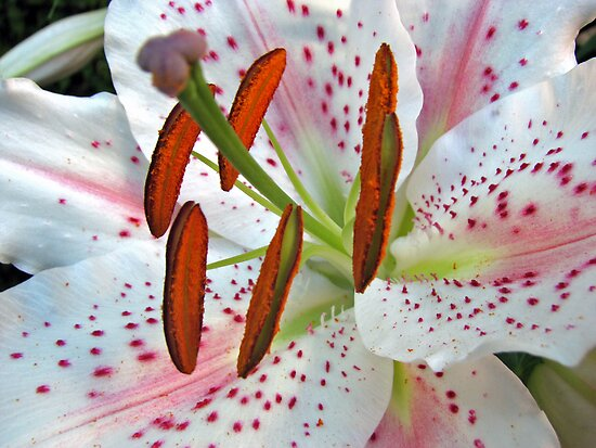 Exotic and Exquisite - Oriental Lily by BlueMoonRose