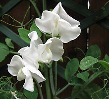 Fresh and Pure - Raindrops of Sweet Peas by BlueMoonRose