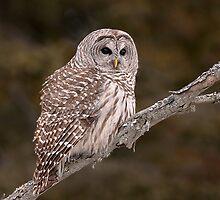 Barred Diagonally / Barred Owl by Gary Fairhead