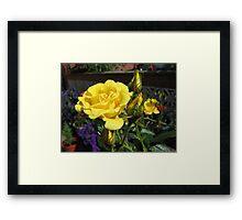 Golden Jewels - Rose and Buds at Sunrise Framed Print