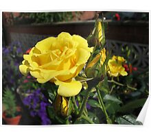 Golden Jewels - Rose and Buds at Sunrise Poster