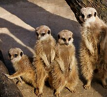 Meerkat and pups by roger smith